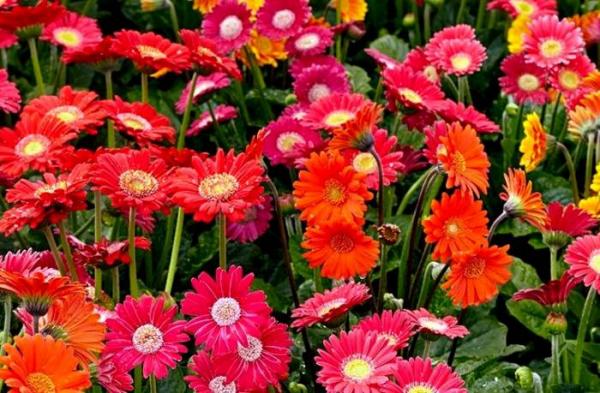 راهنمای کاشت و نگهداری گل ژربرا در خانه